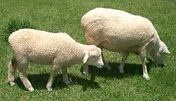 250px-Lamb_01